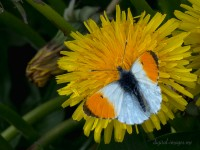 An Orange-tip and Dandelions