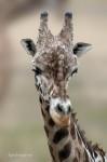 Giraffe Portraits
