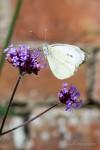 Large Whites at Clumber