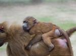 Guinea Baboons