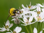 A Bumble Bee on an Allium