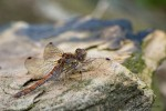 Dragonflies on a Dry Stone Wall