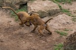 A Baboon Domestic…..
