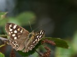 Speckled Woods