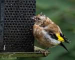 Fluffy Goldfinch