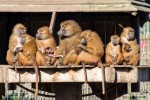 Updated Guinea Baboon Gallery