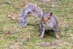 Clumber Squirrel