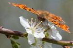 Apple Blossom Comma