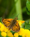 Large Skippers