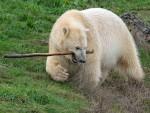Pole Bear