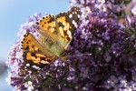 Lady on Buddleia