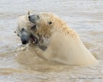 Updated Polar Bear Gallery