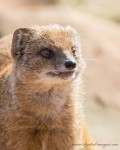 Mongoose Portraits