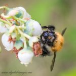 Bee on Blueberry Flower