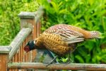 A Pheasant on the Decking