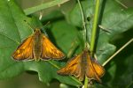A Pair of Skippers