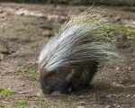 A Very Busy Crested Porcupine