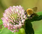 A Bee on Clover