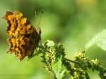 A Comma on Nettles