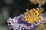 A Painted Lady on a Buddleia Bush