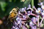 Hover Fly on Buddleia