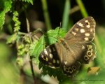 Speckled Wood at the Woodland Edge