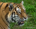 Siberian Tigers at the YWP