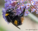 A Bee on a Buddleia Flower