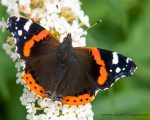 Red Admirals Feeding on Buddleia