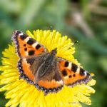 New Small Tortoiseshell Gallery