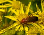 Red Soldier Beetle on Ragwort