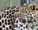 Siberian Leopard