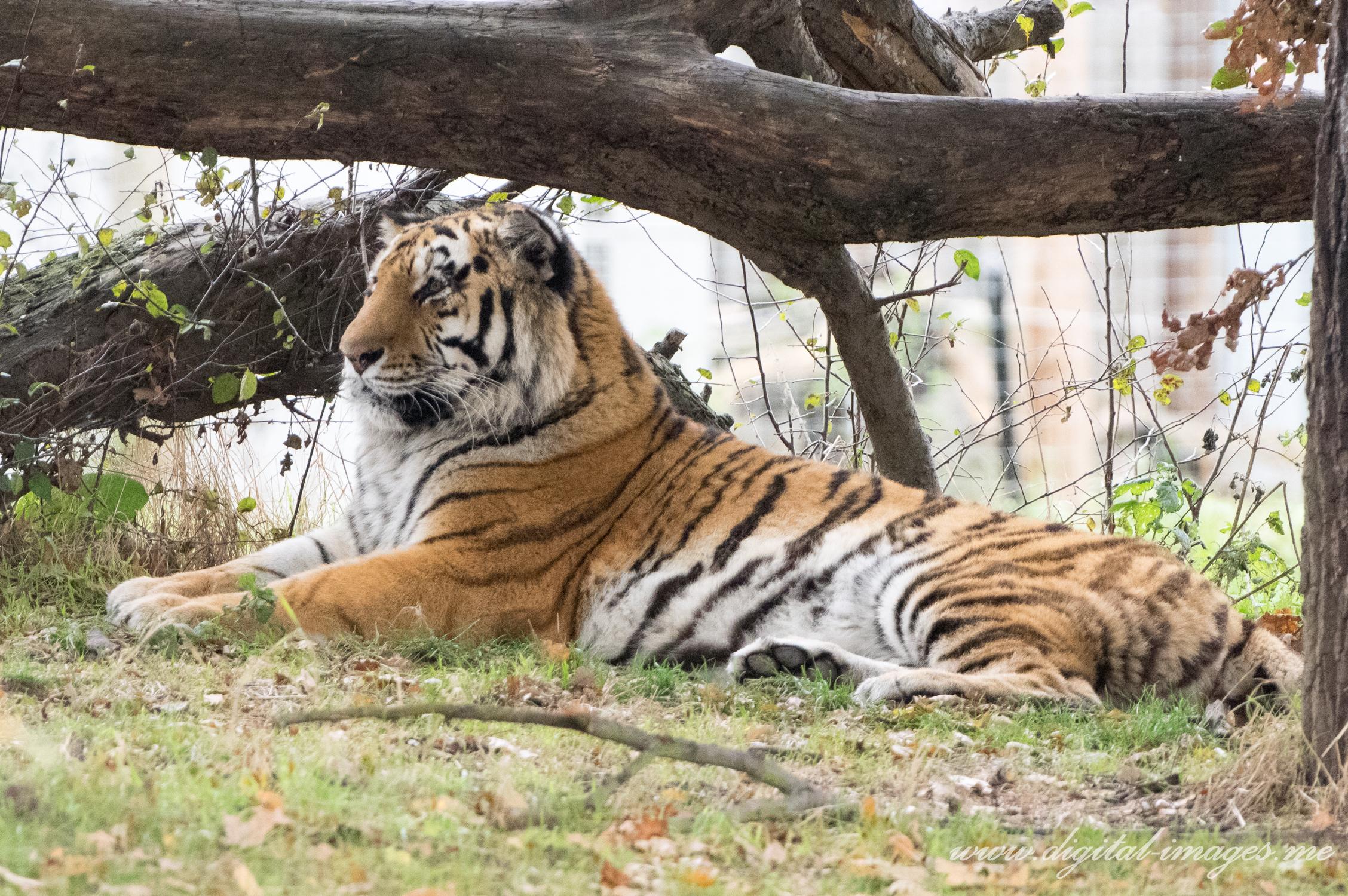 Resting Siberian Tigers