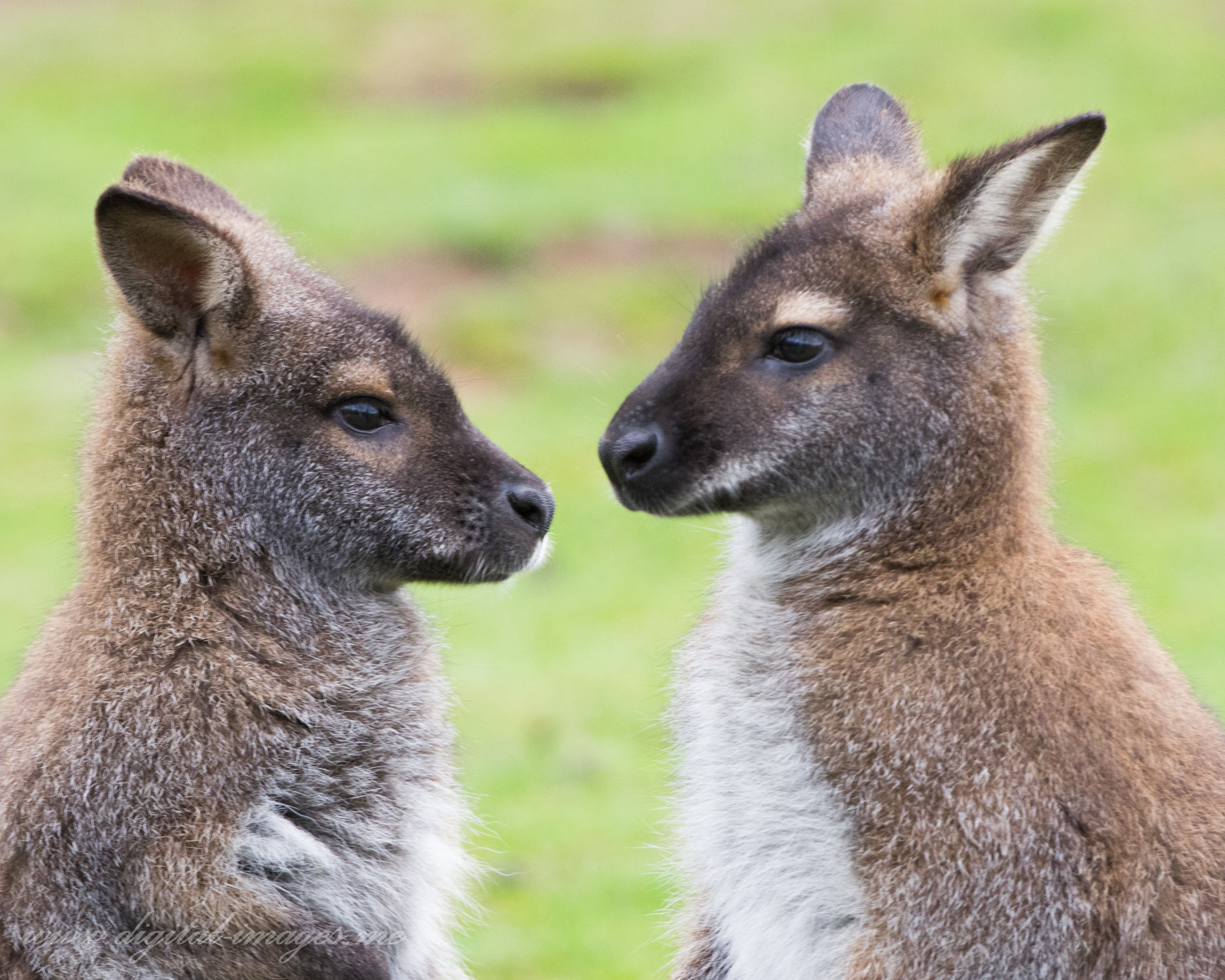 Wallaby Portraits