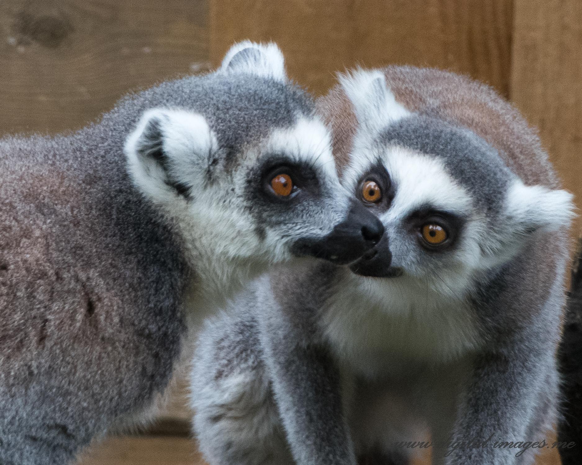 Ring-tailed Lemur Portraits