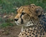 Cheetah Portraits