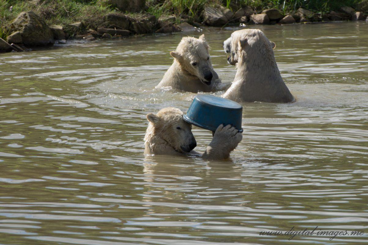 Captive Polar Bears