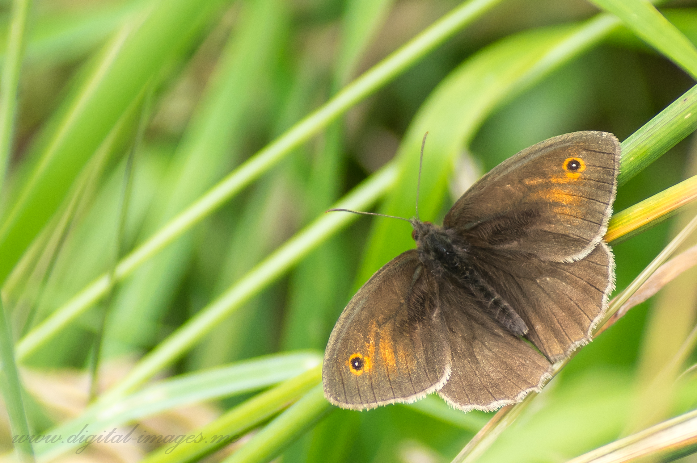 Meadow Browns