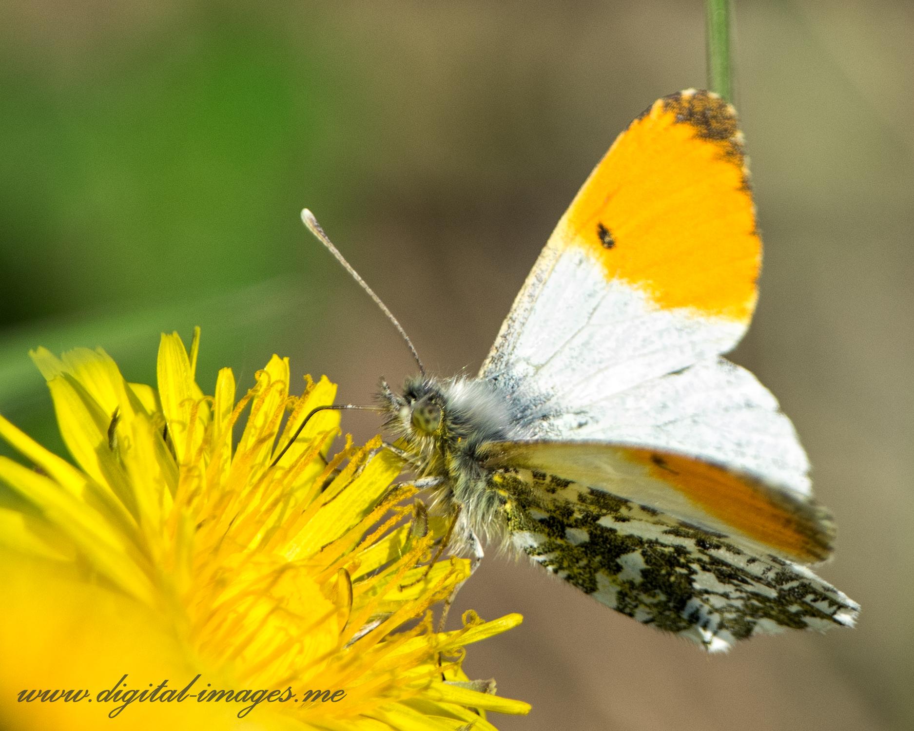 Springtime Orange-tips