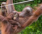 Bornean Orangutan and Youngster