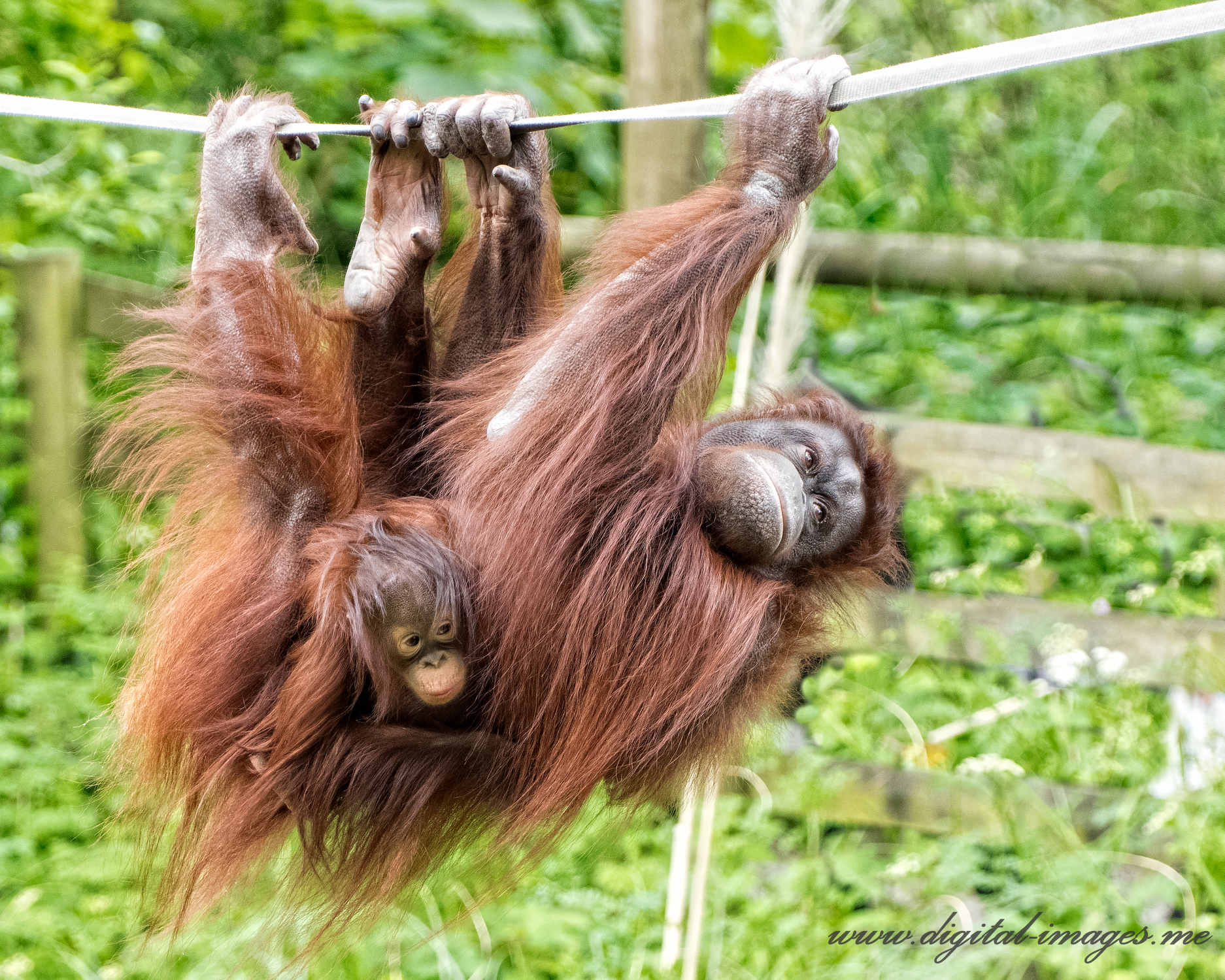 In Second Place, Orangutans at Paignton