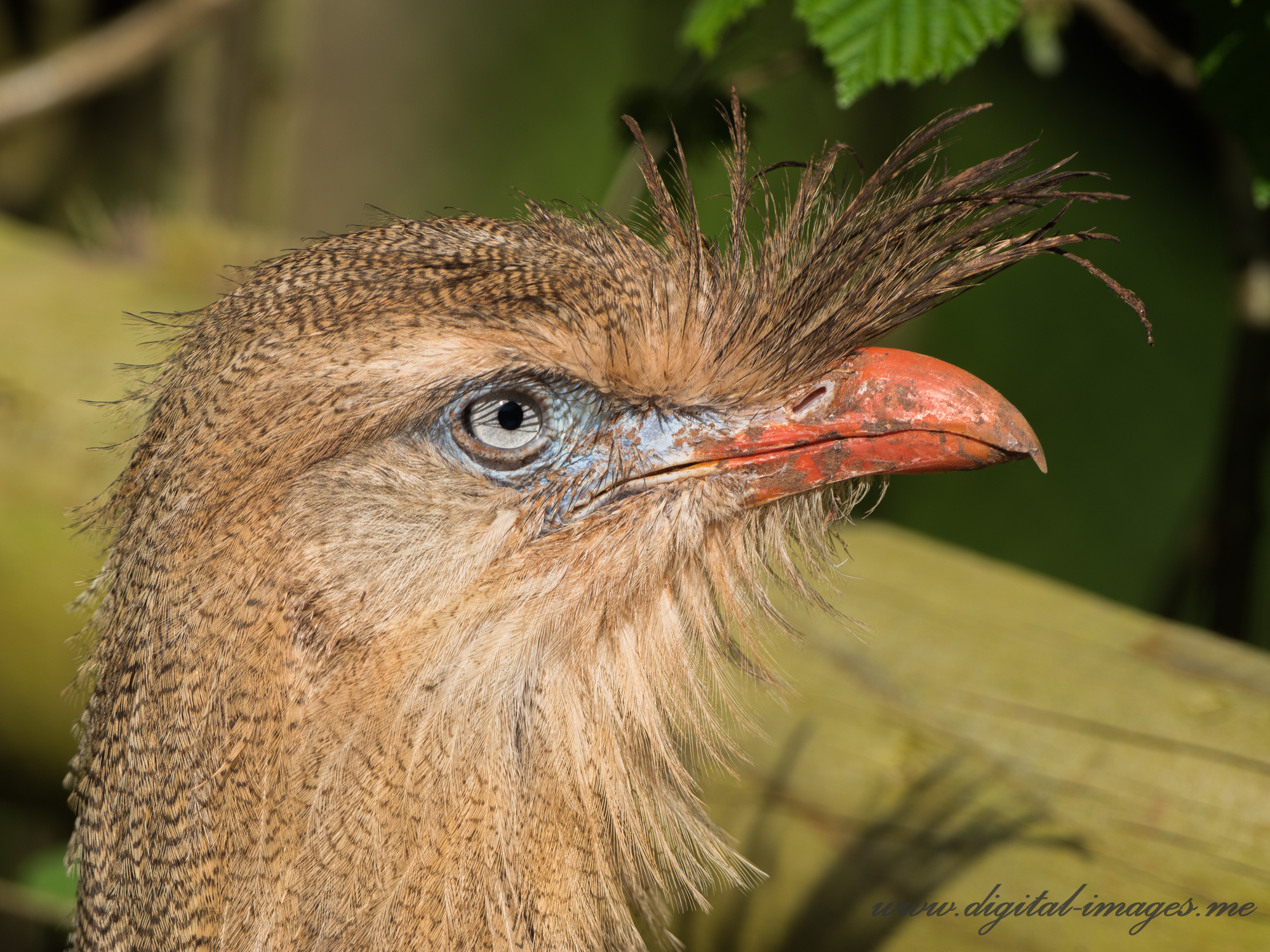 Red-legged Seriema