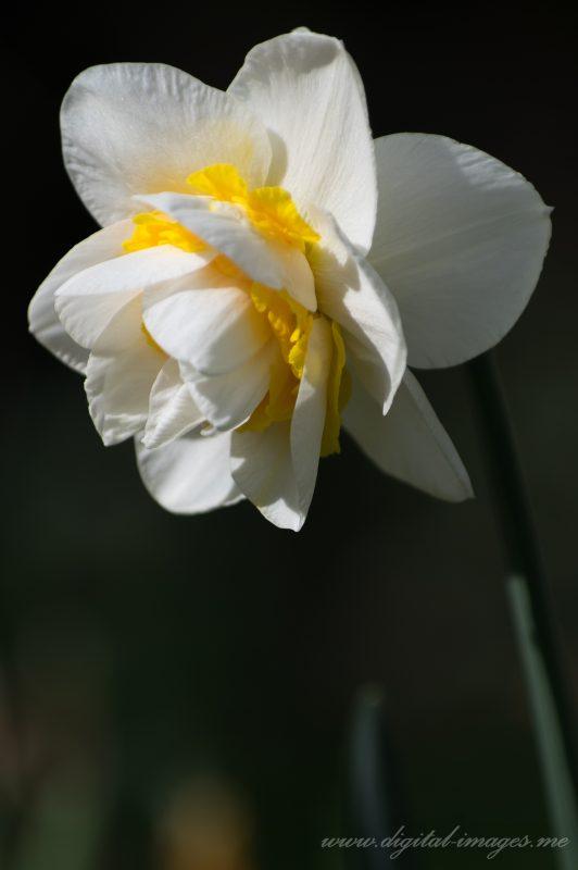 Narcissi