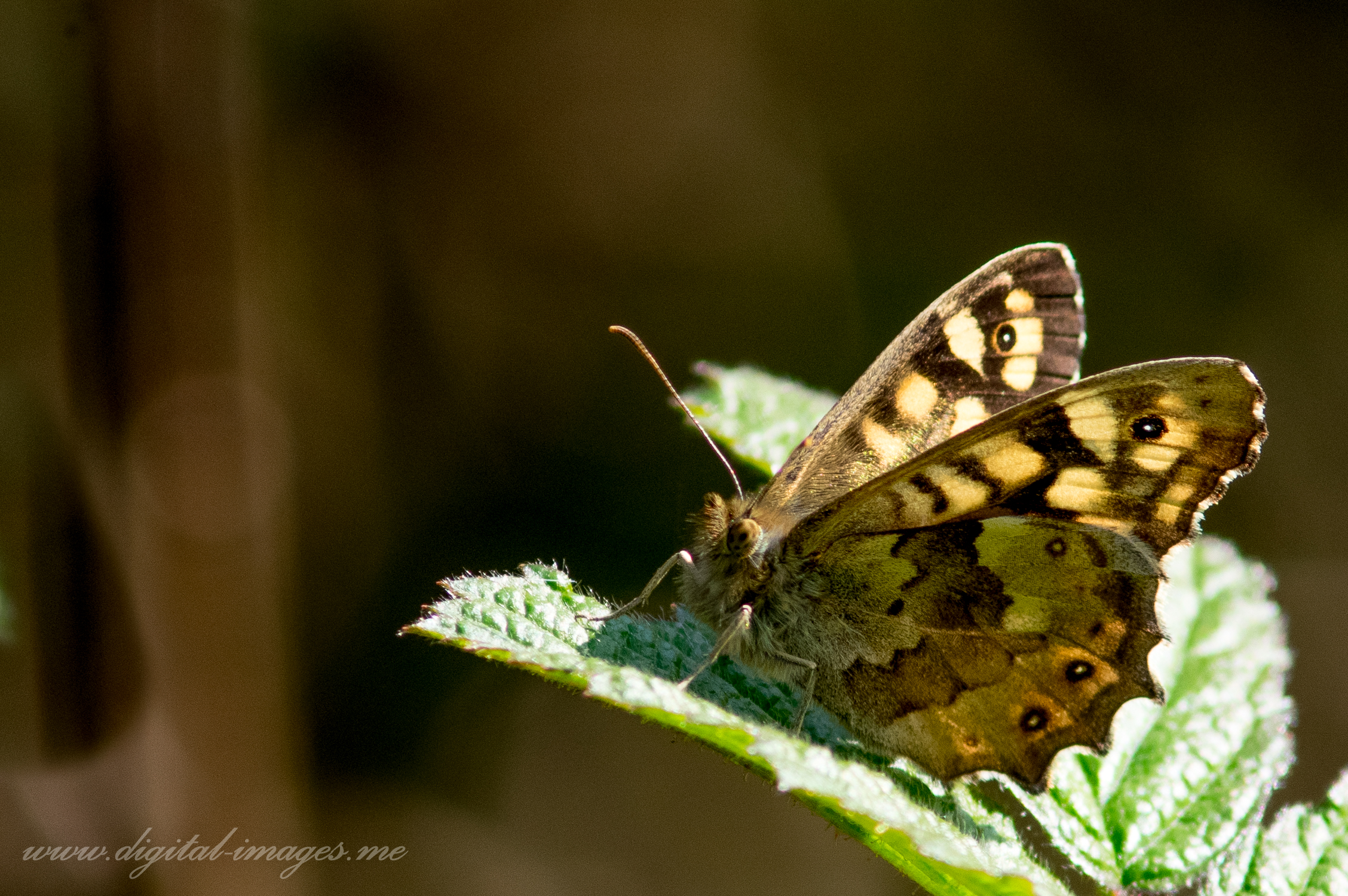 A Solitary Speckled Wood