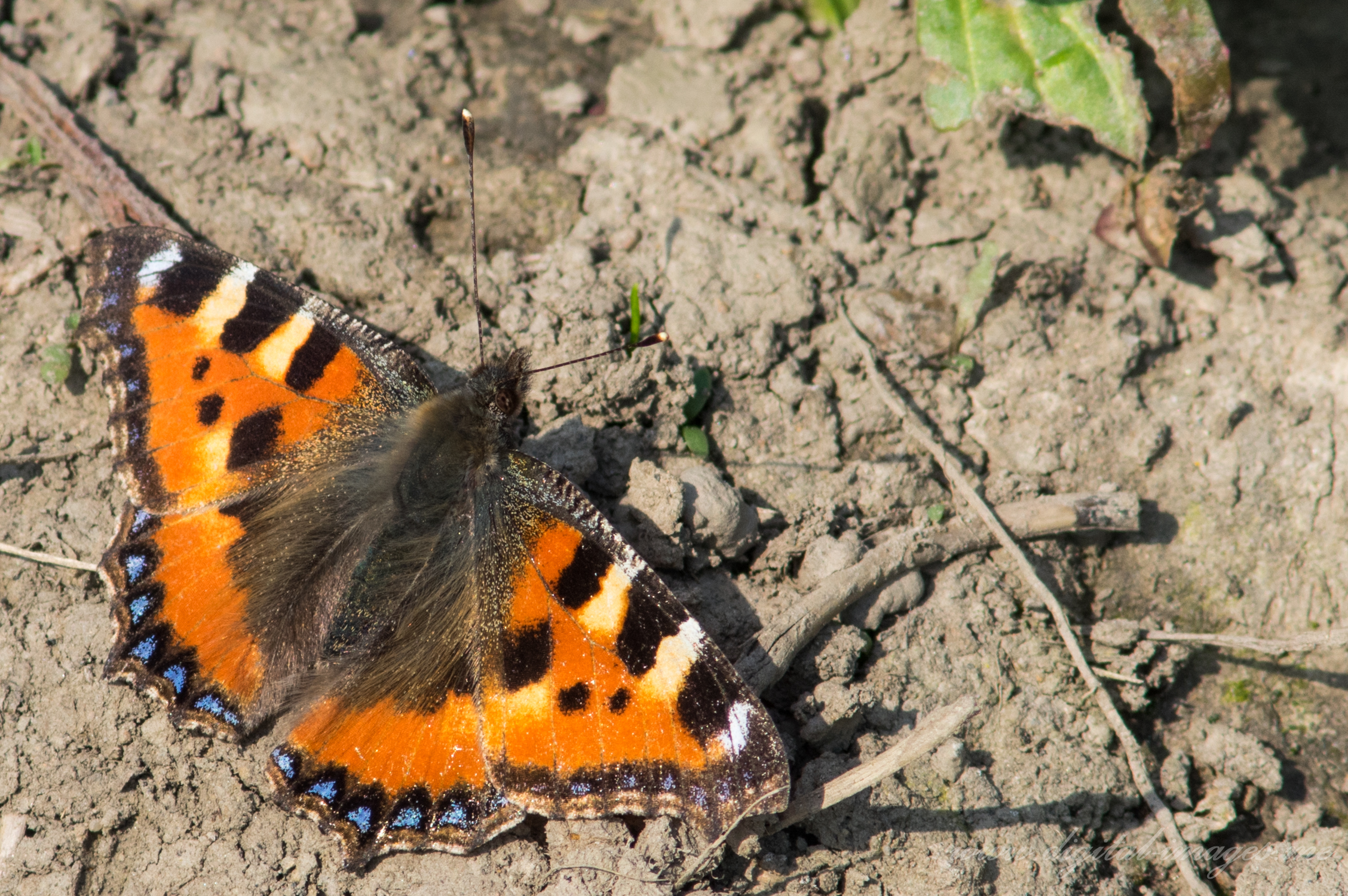 Small Tortoiseshells – Two In One