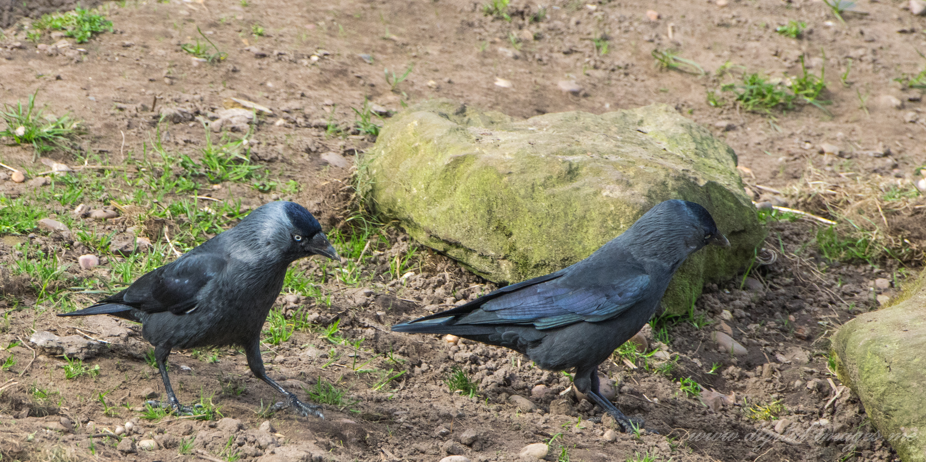 Jackdaws at the Wildlife Park
