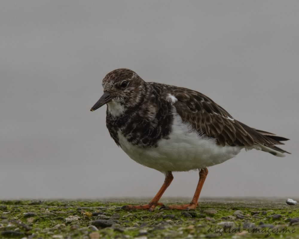 Turnstone, Winter Plumage