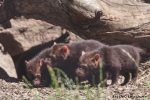 Bush Dog Puppies at Chester Zoo