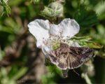 An Abundance of Silver Y Moths
