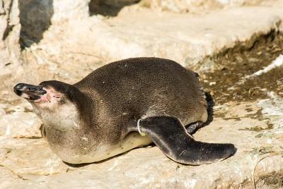 081012--Humboldt-Penguins--08.jpg